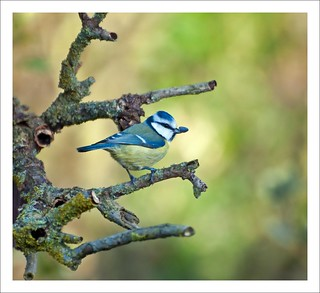 Blue Tit .. | by taxidriver2002