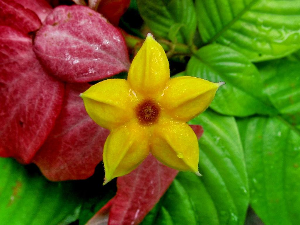 Flower Plant Oleander Nerium Oleander Flor Da Planta Esp Flickr