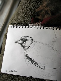 Goldfinch quick sketch | by Uplifting Arts