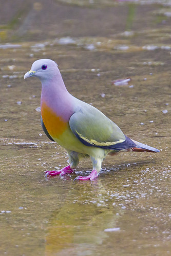 Pink-necked Green-pigeon Male BP_29012012_001 | by Chong Lip Mun