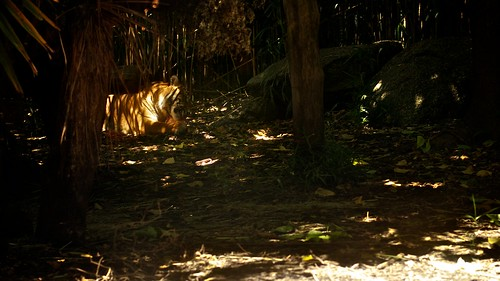 Tiger feasting in shadow II | by The Abbey in the Oak Wood