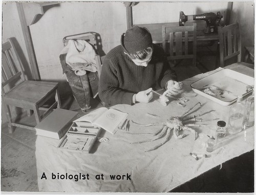Biologist Ronald Kenny at work on one of his specimens, a deepsea crab | by State Library of New South Wales collection