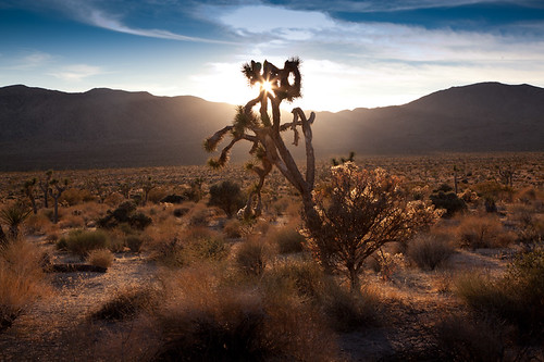 Joshua Tree at Sunset | by Tristan C