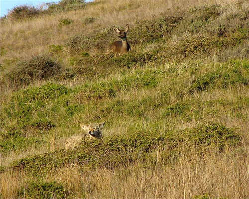 1coyote deer scott campbell fairfield | by Contra Costa Times