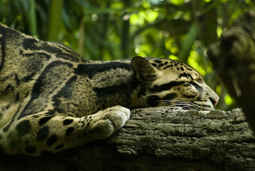 Clouded Leopard | by eminart