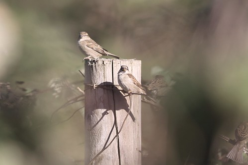 Sparrows | by janet lindgren pierce