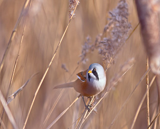 bearded tit | by Tales From The Riverbank