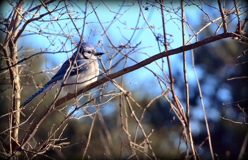 Bird - Blue Jay | by blmiers2