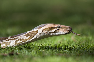 Snake in the grass | by San Diego Shooter