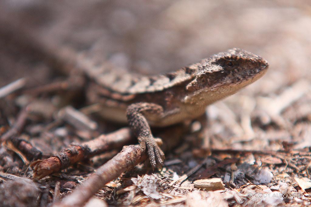 Tree Dragon Jacky Lizard Square Rock Namadgi National P Flickr