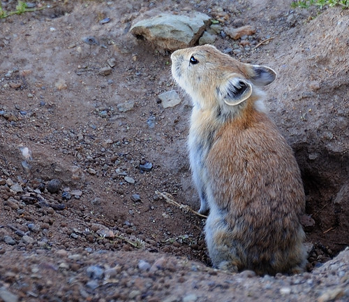 """Tibetan Pika""  Ochotona thibetana, རྫ་བྲ་ bra ba. 
