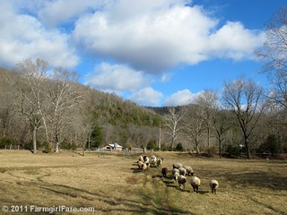Pregnant ewes heading out to graze on a beautiful winter day | by Farmgirl Susan