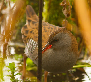 Water rail | by davidrjohn1(AKA THE DIPPER)