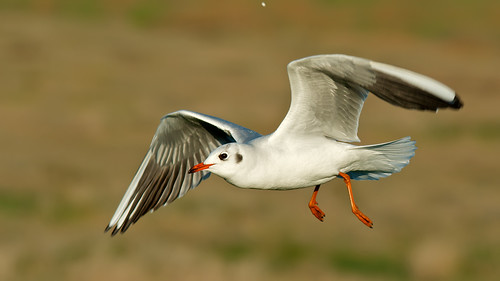 black headed gull | by blackfox wildlife and nature imaging