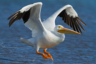 Wintering White Pelican | by Seth Patterson