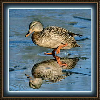 Milady Mallard Walks On Early Winter Mix | by Vidterry