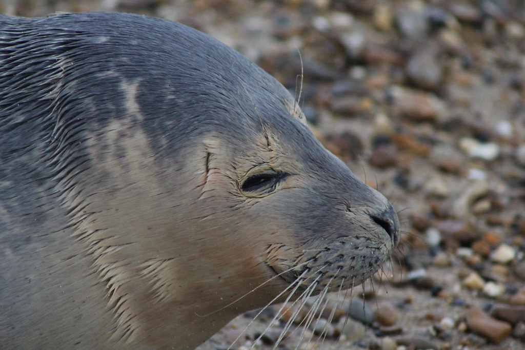 Languard Point 6 Baby Seal On Beach At Languard Mark Learmouth