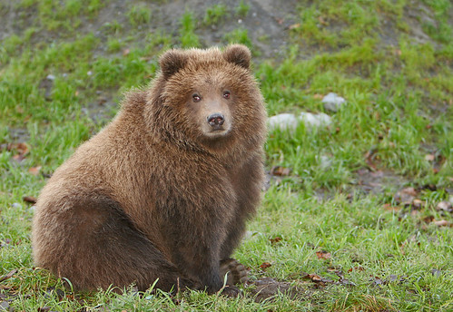 Brown Bear Cub - Nice & Fluffy | by AlaskaFreezeFrame