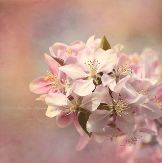 Spring Dreams | by KimHojnackiPhotography