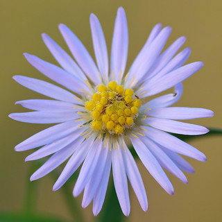 A late autum aster in my garden. | by Bienenwabe