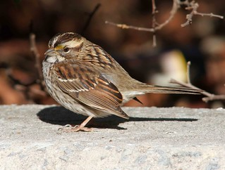 White-throated Sparrow | by AllHarts