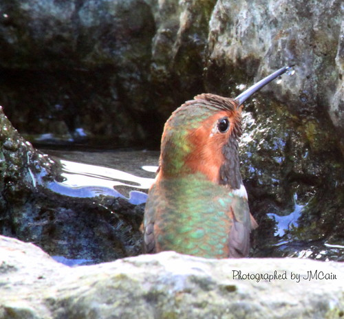 Humming Bird taking a Bath | by Jeannette Cain