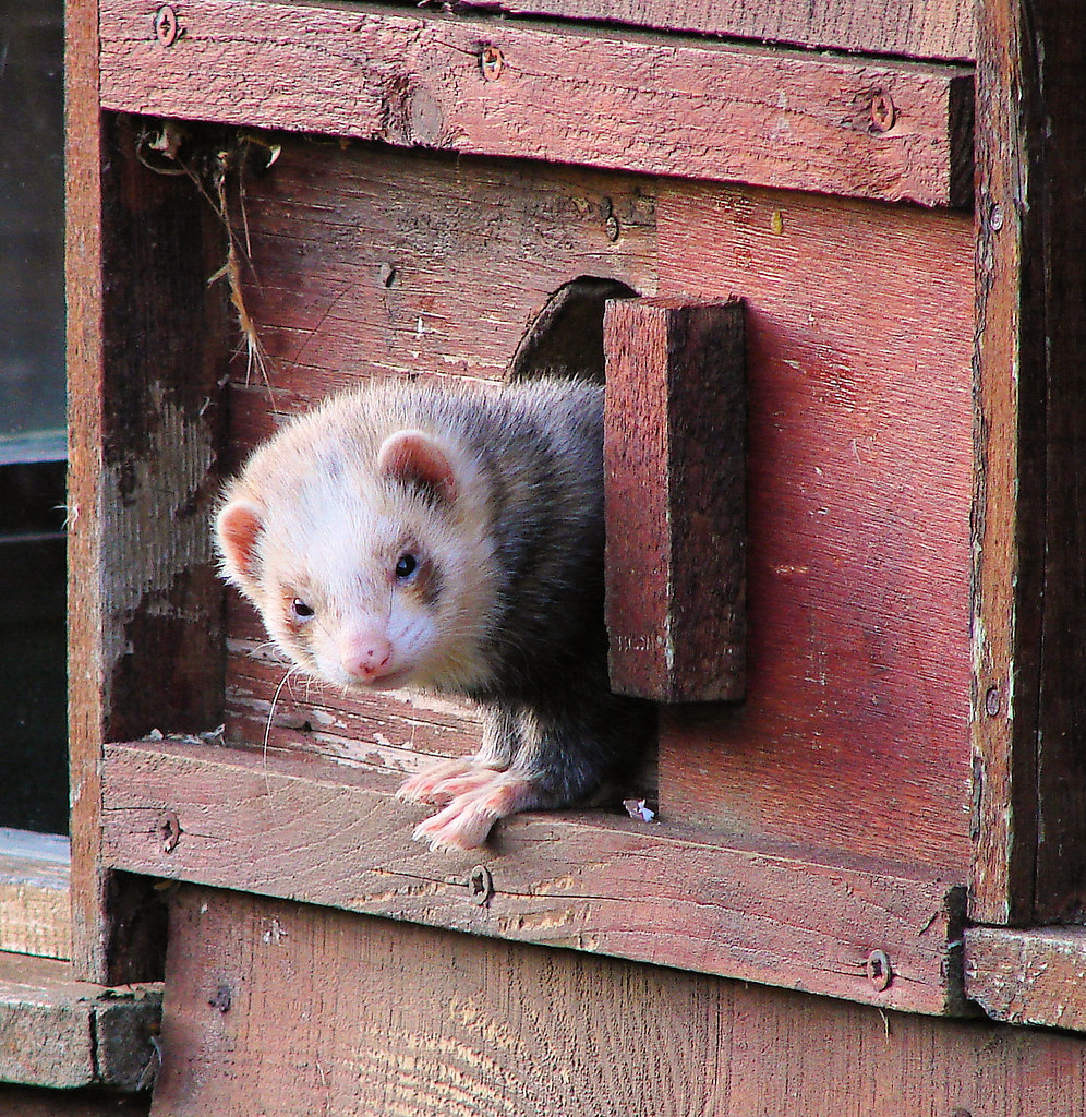 Ferret Out...   The domestic ferret is actually believed to …   Flickr