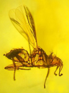 Bat fly in amber | by Oregon State University