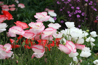 Romantic Papaver rhoeas 'Falling in Love' | by anniesannuals