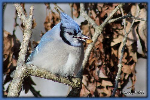 Blue Jay | by tvbare