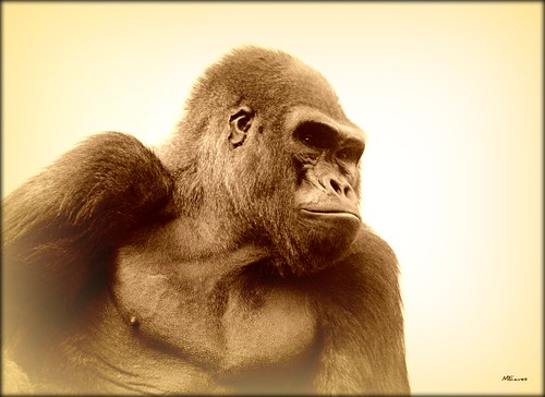 Ape Portrait | by MEaves