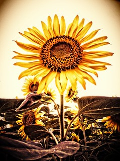 Sunflower | by Satoshi H (a.k.a ARCH)