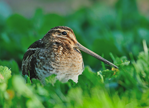 Wilson's Snipe | by Jerry Ting