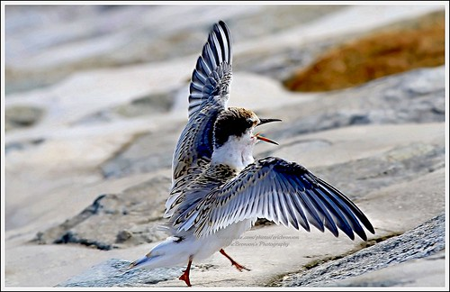 Juvenile Little Tern | by EricBronson's Photography