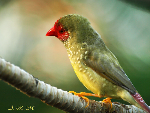 A Pensive Finch - Vancouver, British Columbia (Explored) | by Barra1man