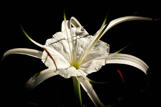 20111222 Spider lillies after rain-7 | by Degilbo on flickr