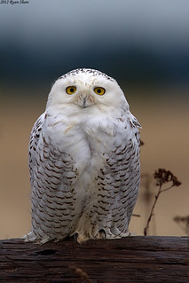 Snowy Owl (Bubo scandiacus) | by *Ryan Shaw