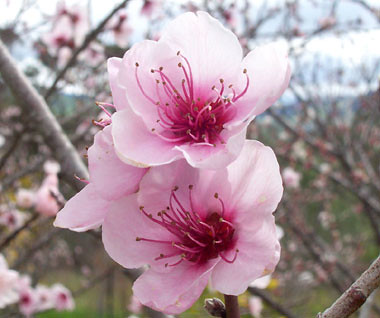 Peach blossoms | by Oregon Coastal Flowers