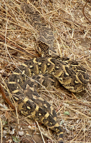 Can you see 2 - Puff Adder | by 2mag7- I'm just busy being myself!