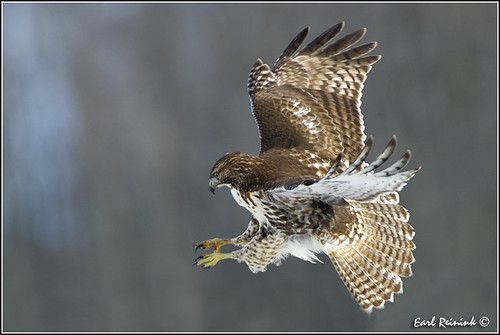 Red-tailed Hawk (20111213-1276) | by Earl Reinink