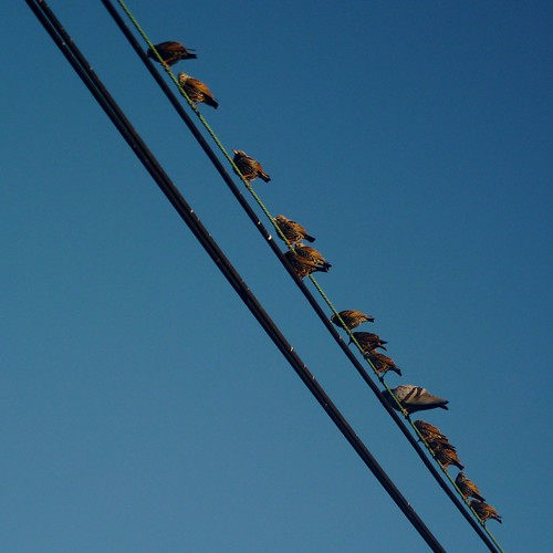 Starlings on a wire | by Dendroica cerulea