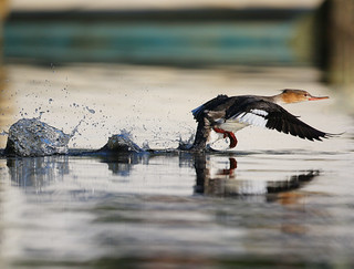 The Big Merganser Take Off - Explore #128 Dec.29th | by dbuk2