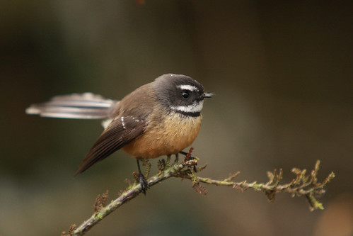 Fantail | by Foris Ecotours