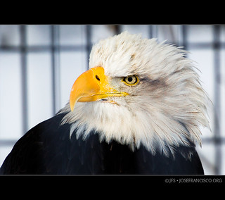 Bald Eagle [4071] | by josefrancisco.salgado