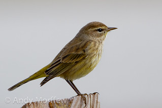 Palm Warbler | by Andy Morffew