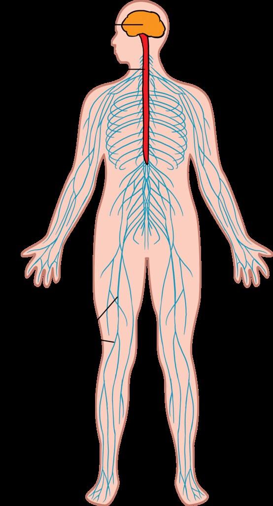 Nervous system | Illustration used in Gr 7-9 Natural Science… | Flickr
