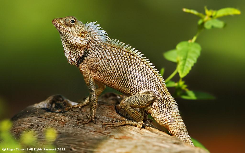 oriental garden lizard by edgar thissen - Garden Lizard