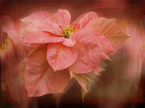 Pointsettia-shades of pink. | by Nancy Neupert