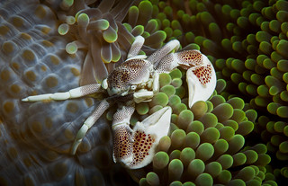 Porcelain crab on an anemone | by Alastair Pollock