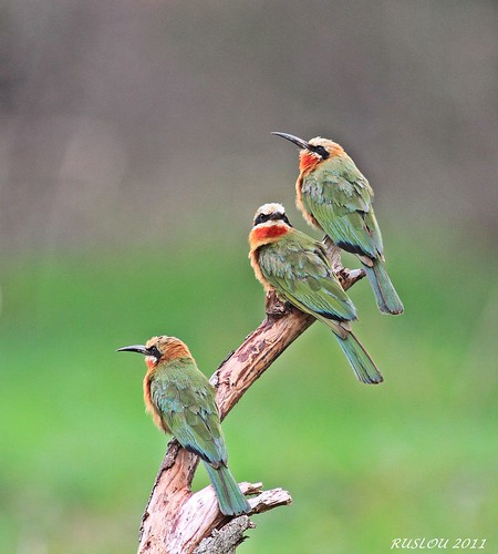 White fronted Bee-eater (Merops bullockoides) | by ruslou (More off than on)